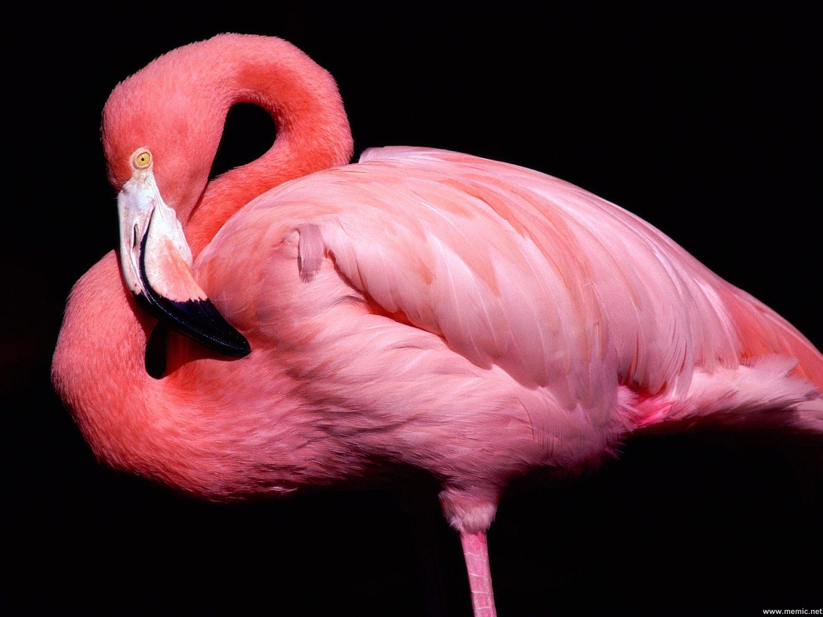Fenicottero rosa ai Parioli