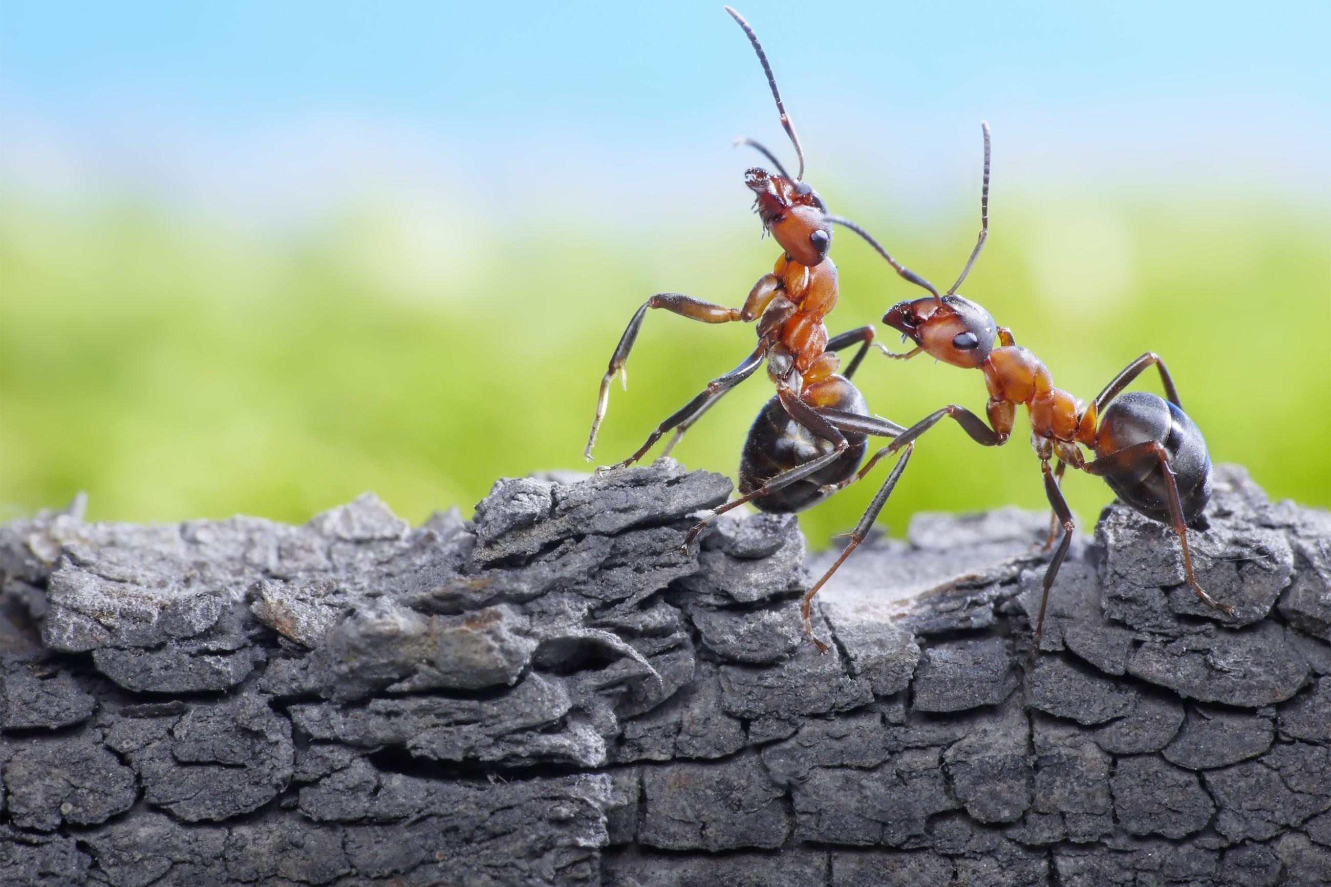 Occhio al trucco delle formiche sul collo: vi rubano la collanina