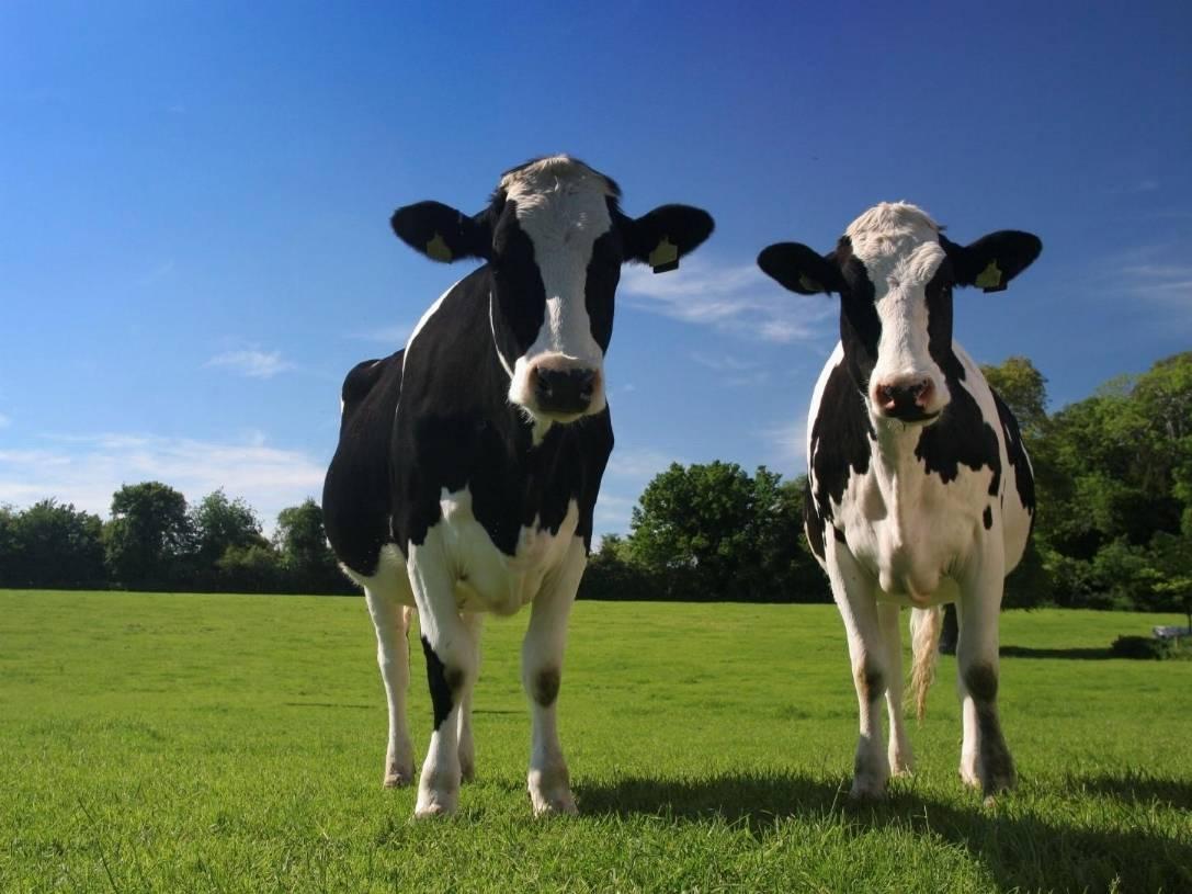 Operazione Via Lattea: farmaci alle mucche per aumentare il latte
