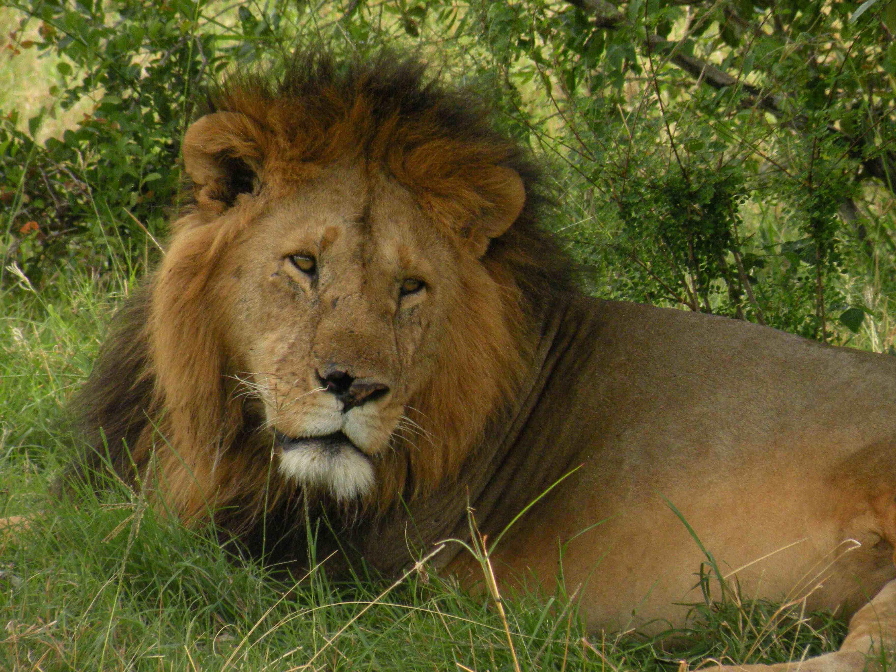 Dentista che uccise Cecil aveva il permesso: non sarà incriminato