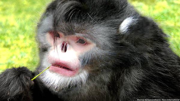 Sull'Himalaya scimmia Michael Jackson e rana Paul Newman