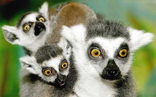 Madagascar, lemuri salvi anche grazie all'impegno italiano