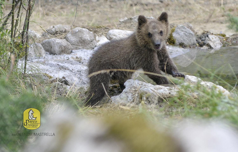 L'orsetta Morena raggiunge i 23 kg di peso: a breve torna nei boschi
