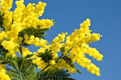 Natale con mimose e zanzare: Coldiretti lancia allarme clima impazzito