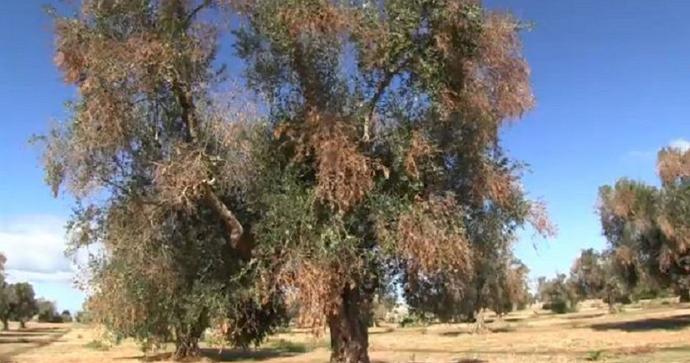 Xylella, il Wwf chiede al Tar Lazio di bloccare gli abbattimenti di piante sane
