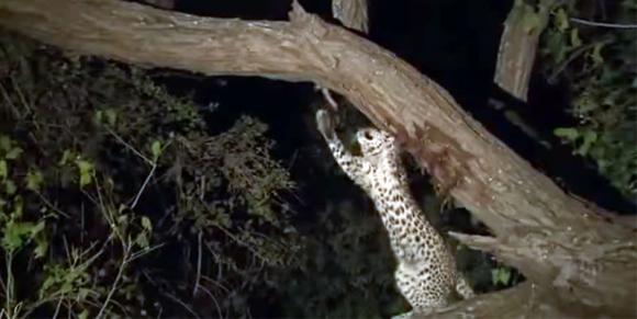 Leopardo sbrana la sua preda, ma quello che fa con il suo cucciolo lascia stupiti