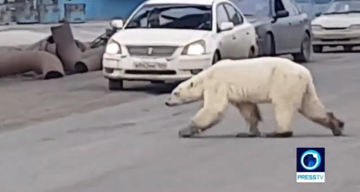 Orso polare affamato vaga in mezzo al traffico: panico tra i residenti