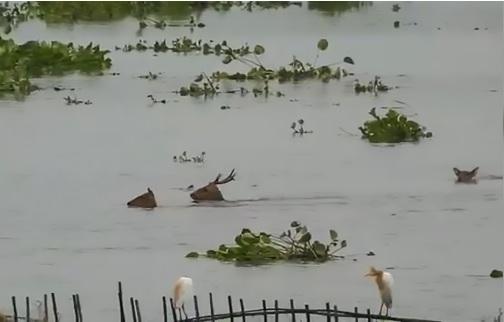 Parco nazionale allagato: cervi nuotano in cerca della salvezza