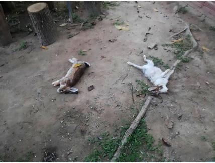 Il killer dei conigli fa una strage: trovati sei conigli mutilati