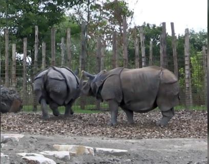 Giovane rinoceronte fortunato: arrivano due femmine più mature per insegnargli l'amore