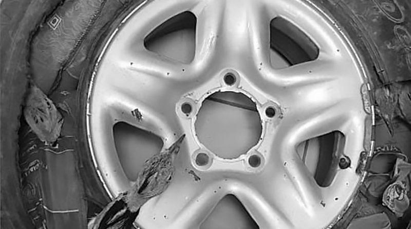 Nascondeva uccellini vivi in via d'estinzione nei pneumatici della sua auto